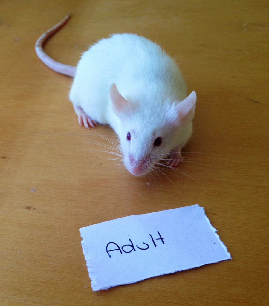 Frozen Adult Mice - 10 pack