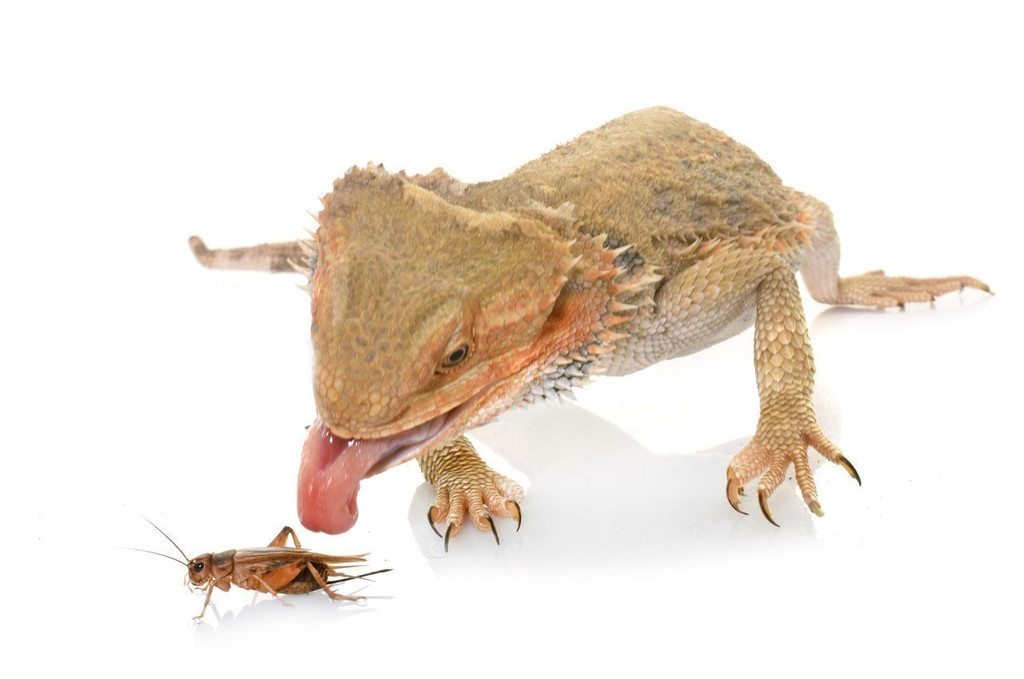 bearded dragon eating a cricket