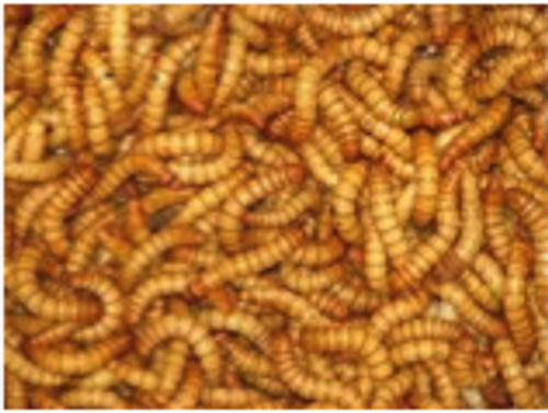 Mealworms - regular 100gms