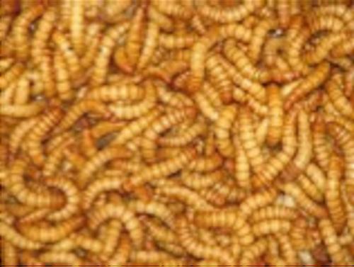 Mealworms - regular 250gms