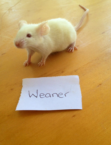 Frozen Weaner Mice - 10 pack