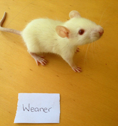 Frozen Weaner Rats - 2 pack