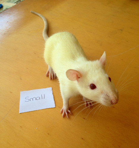 Frozen Small Rats - 2 pack