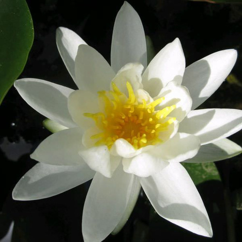 Nymphaea Alba - White Water Lily