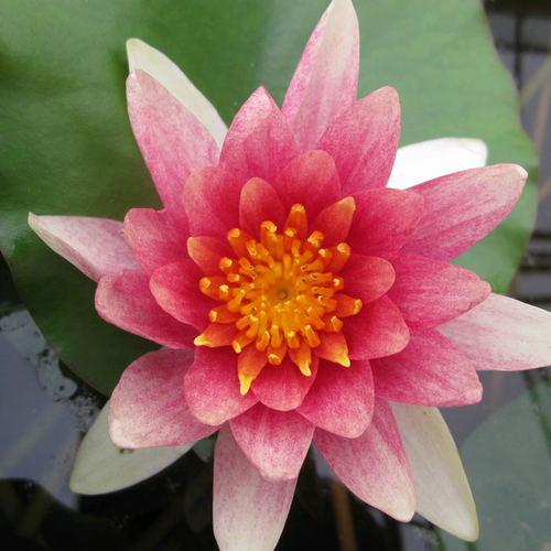 Nymphaea Comanche - Variable Water Lily - 3 Litre