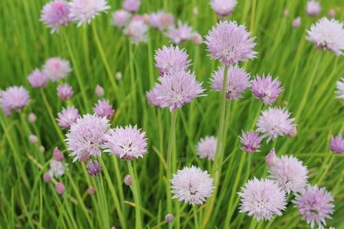 Allium schoenoprasum - Chives