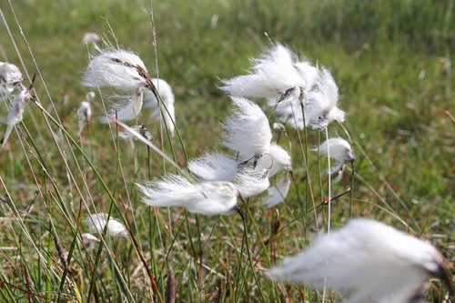 Eriophorum angustifolium - Cotton grass - Bog cotton