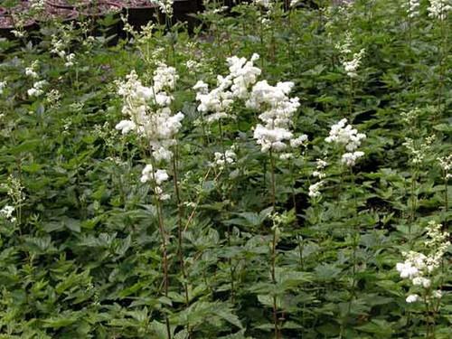 Filipendula ulmaria - Meadowsweet