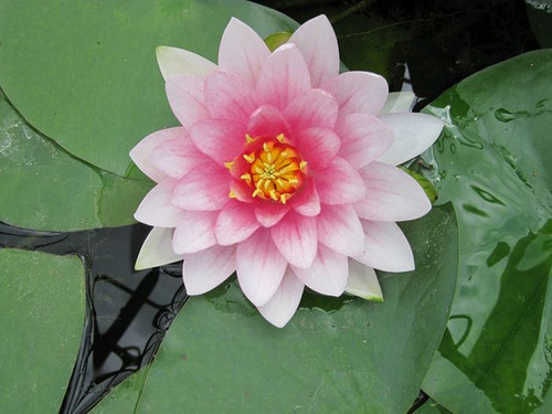 Nymphaea Masaniello Red Water Lily