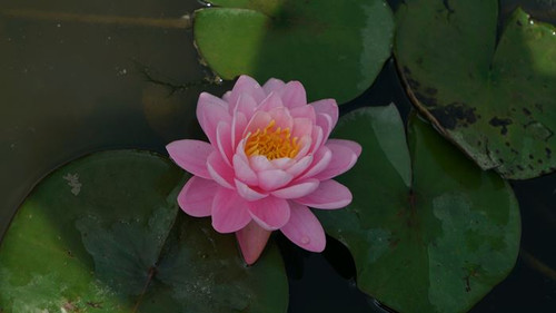 Nymphaea Pink Peony Water Lily