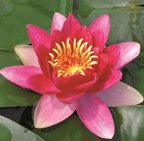 Nymphaea Vesuve Red Water Lily