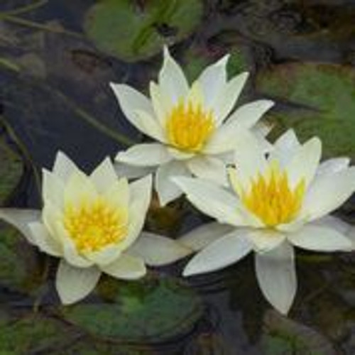 Miniature pond collection with a lily