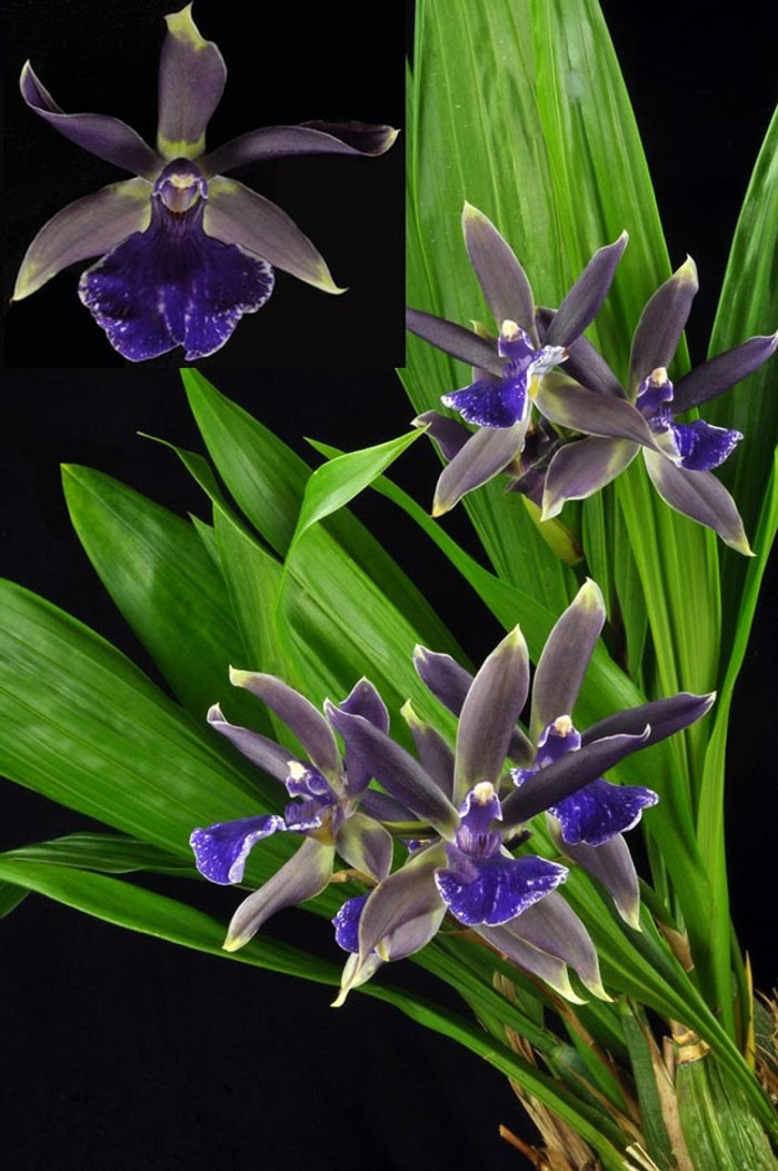 Zygotoria Midnight Blue 'Cardinal's Roost'