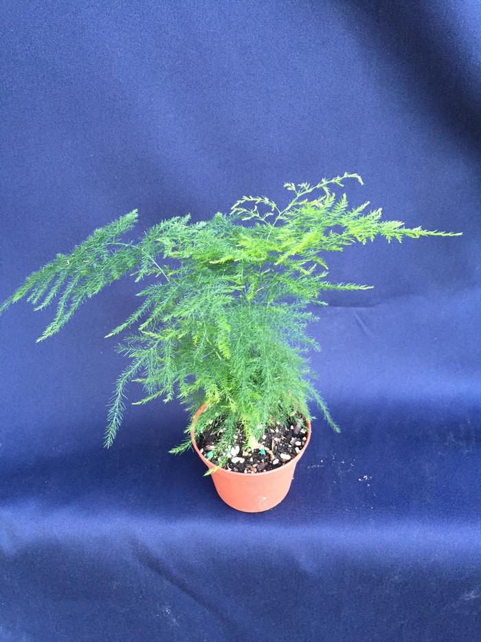 Asparagus setaceus, The Plumosus Fern