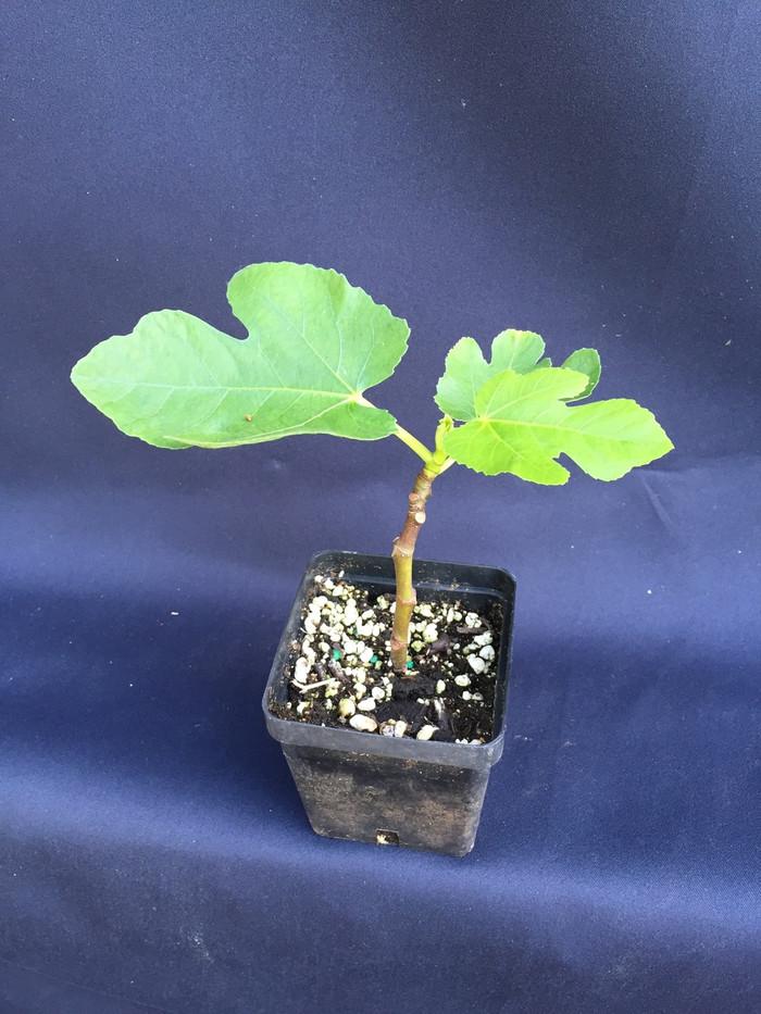 San Piero Fig, Ficus carica 'San Piero'