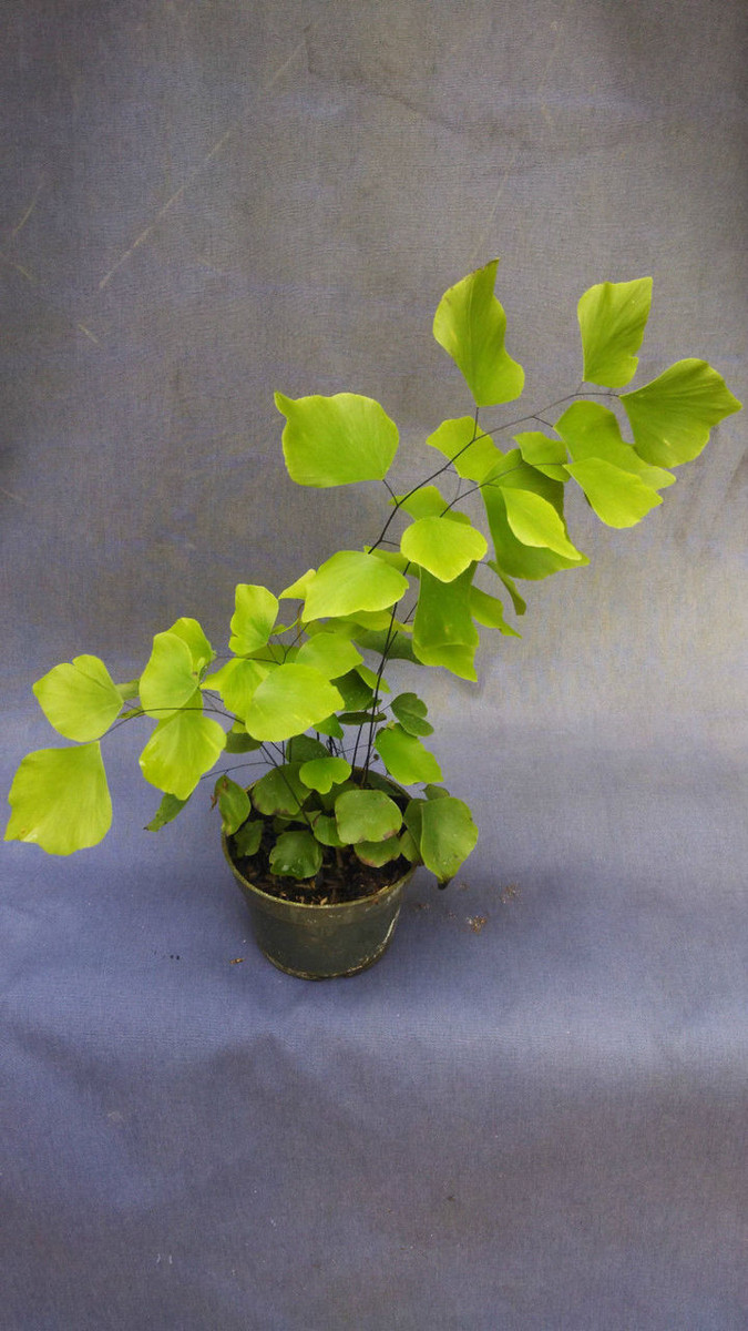 Silver Dollar Maidenhair