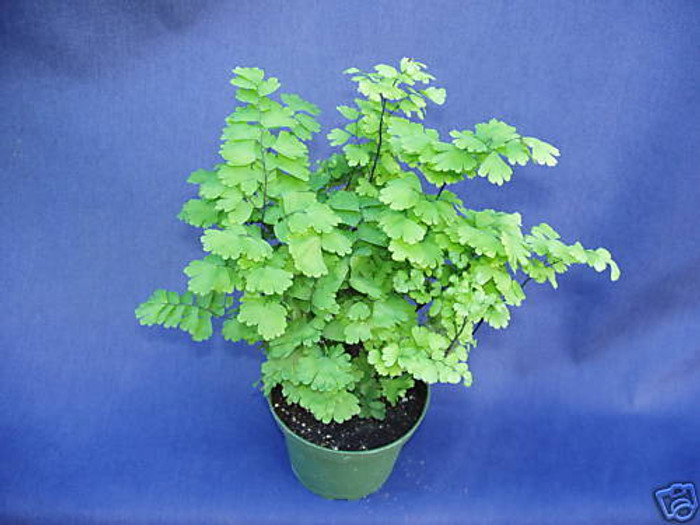 Pacific Maid Maidenhair