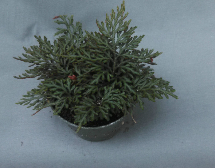 Ruby Red Spikemoss