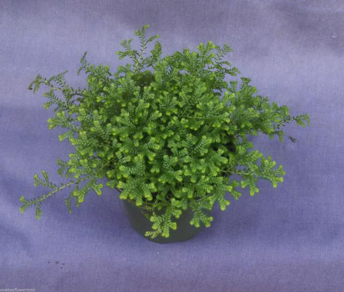 Green Club Moss