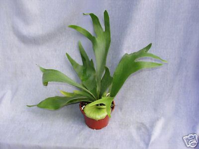 Platycerium bifurcatum,  Staghorn Fern