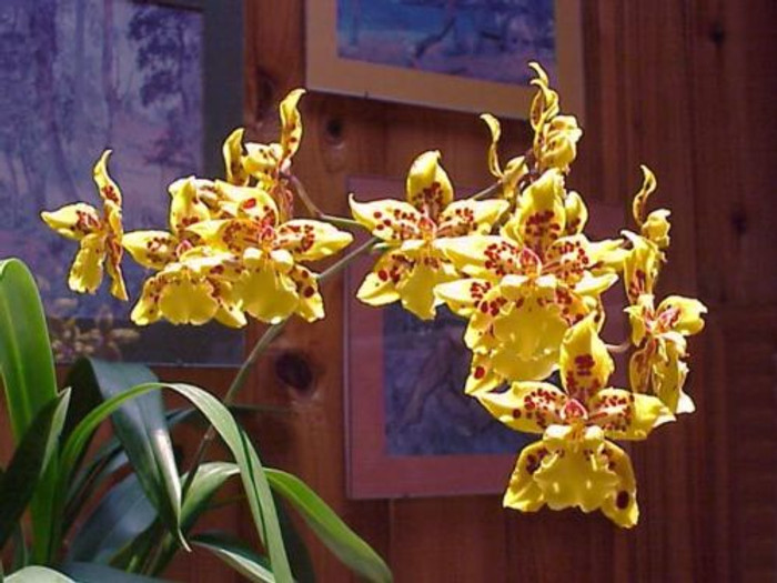 Oncidium Tiger Crow 'Golden Girl'
