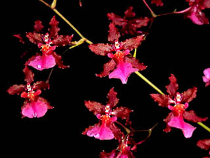 Oncidium Sharry Baby 'Red Fantasy'