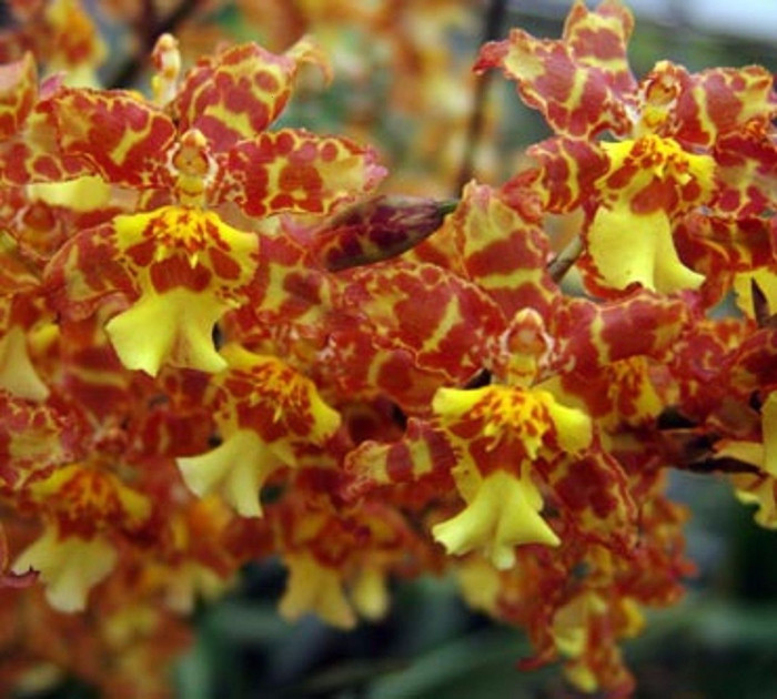 Oncidium Pacific Passage 'Handsome'