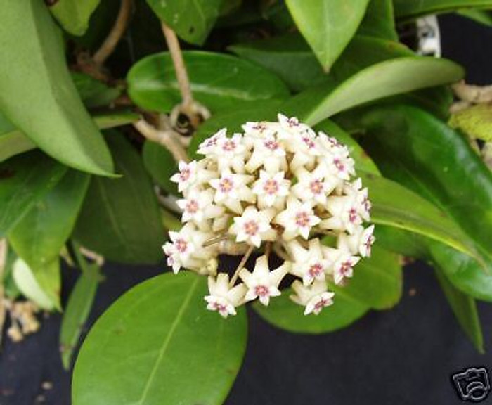 Hoya limoniaca a beautiful hoya with stiff tri-nerved leaves and blooms with pale pink fragrant flowers with darker centers! The three inch pots are well established and have one or more plants per pot, shipped in the pot.