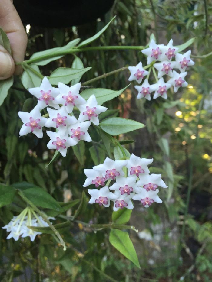 Hoya bella 'Paxtonii'