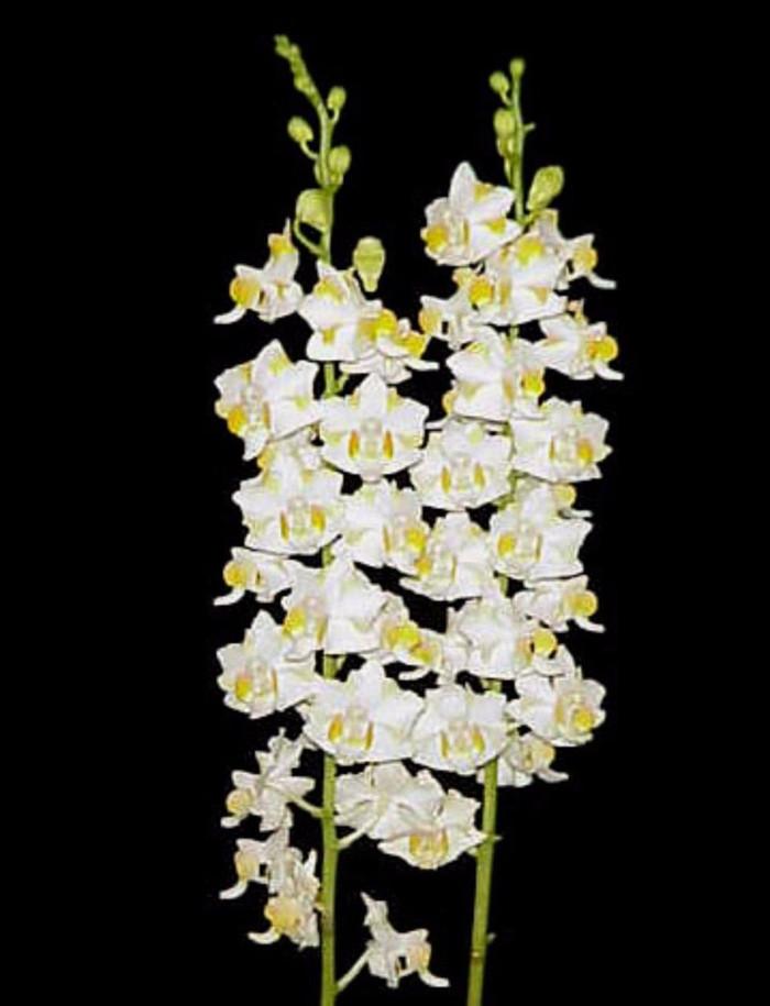 Phalaenopsis pulcherrima var. chumpornensis 'Mauna Kea Snow' X self
