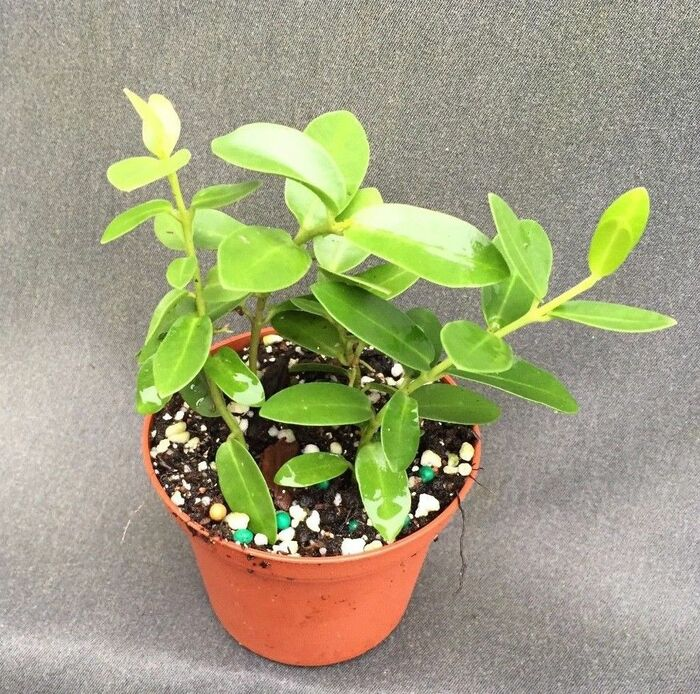 Hoya cummingiana 'Little Leaf'