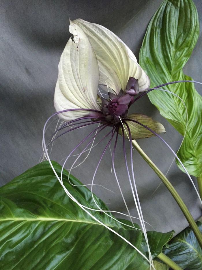 Tacca integrifolia,  The White Bat Flower