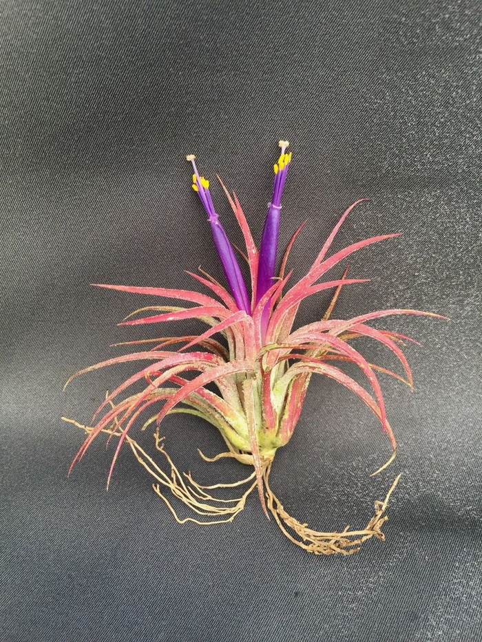 Tillandsia ionantha, The Blushing Bride Air Plant