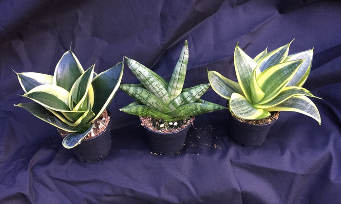 "Sansevieria Collection offer, Three Different as shown.  Left to right; 'Jade Pagoda' 'Boncellensis' and 'Golden Hahnii'  Save on buying all three!  Great low light house plant, low growing. Growing and shipped in a 2"" pots.  Easy to grow"