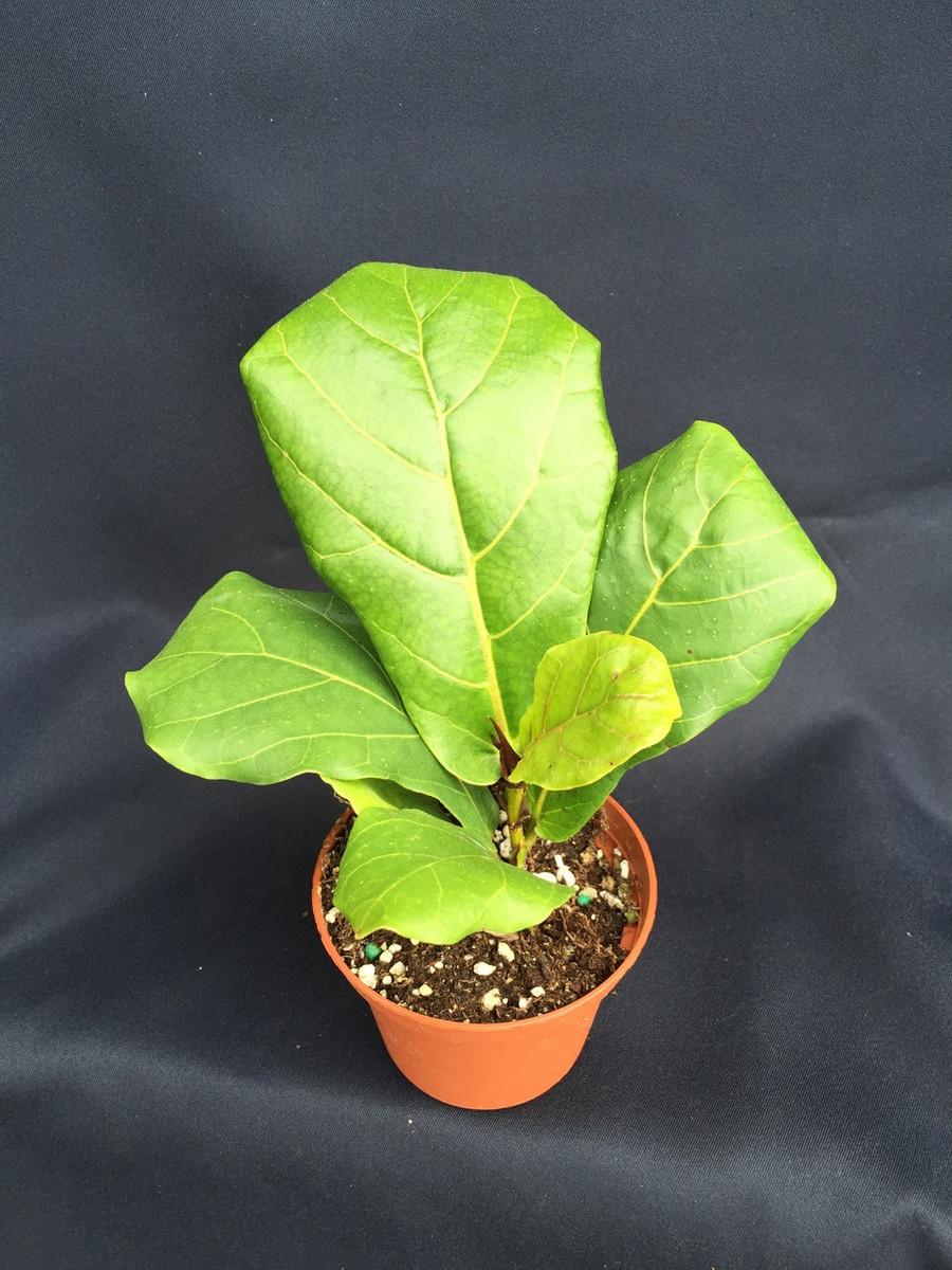 Fiddle Leaf Fig,  Ficus lyrata