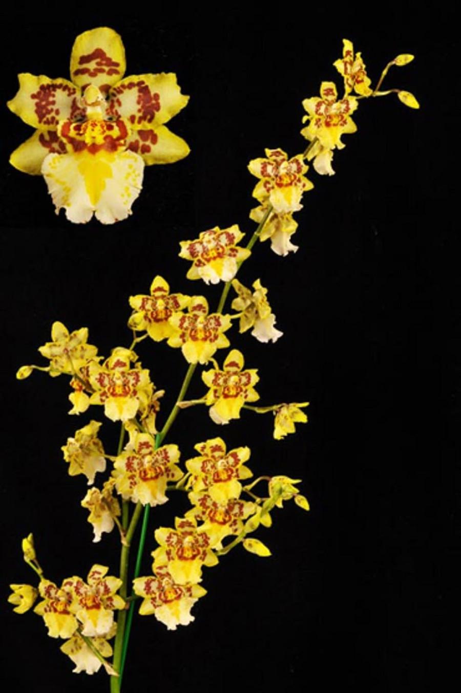 Nohacidium Parquet 'Uptown Girl'