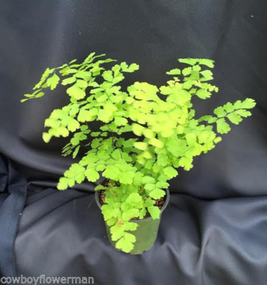 Fragrens Maidenhair