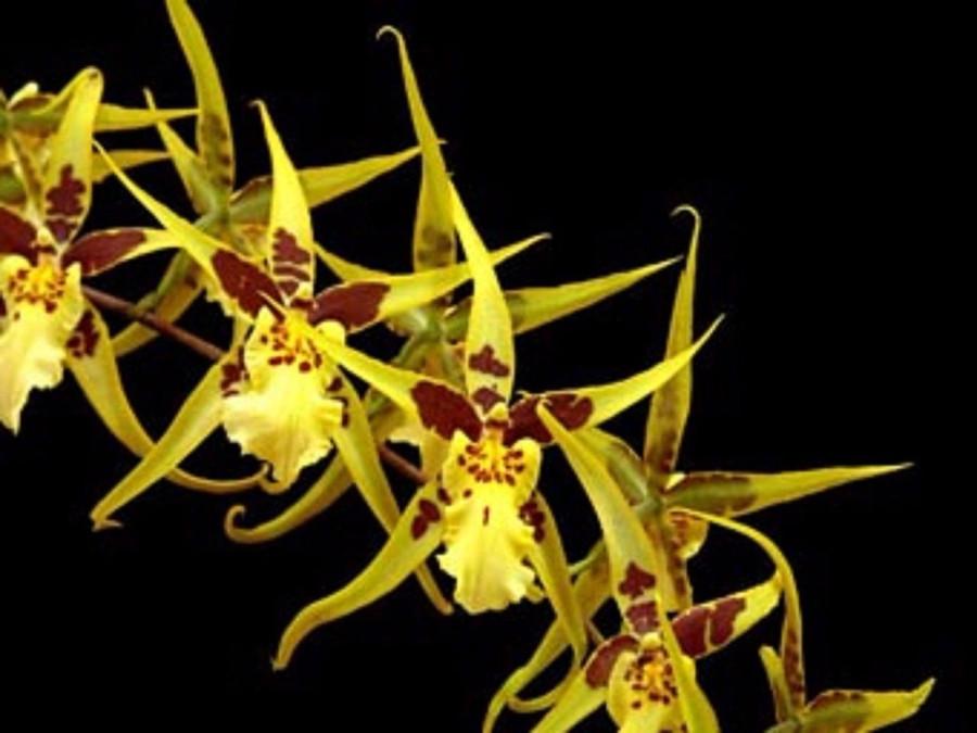 Brassidium Yellow Star 'Golden Gambol'