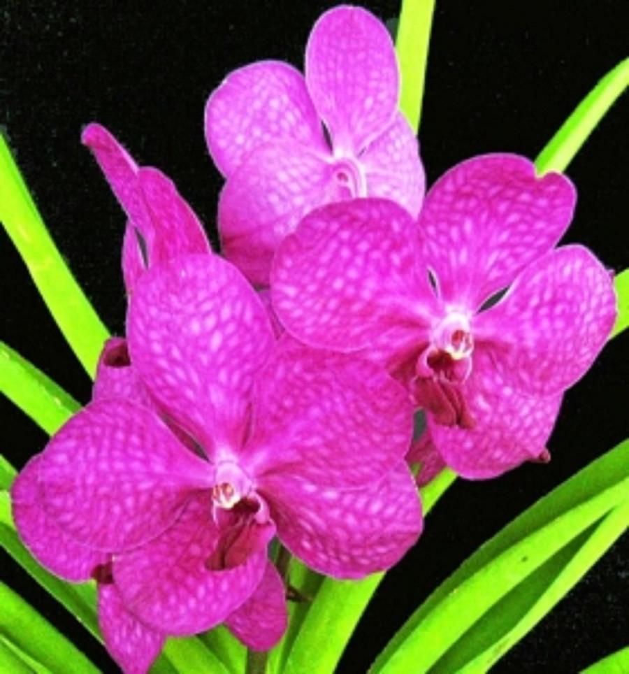 Vanda Princess Mikassa 'Pink'