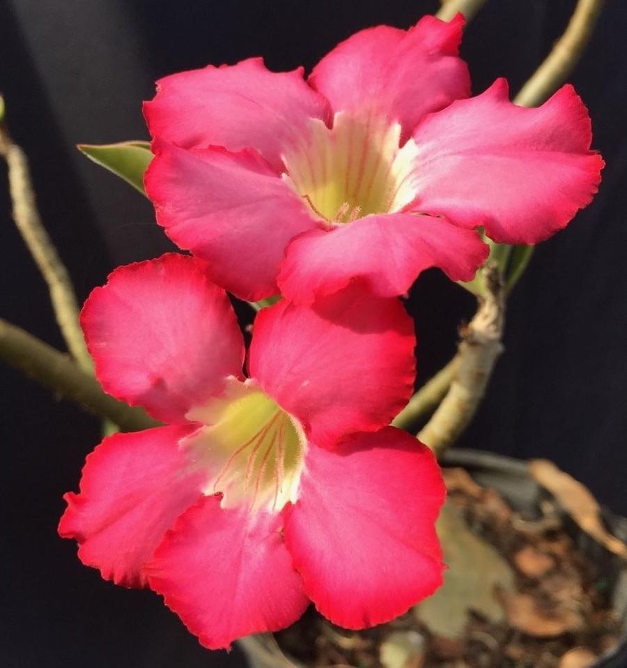 Adenium obesum, The Desert Rose
