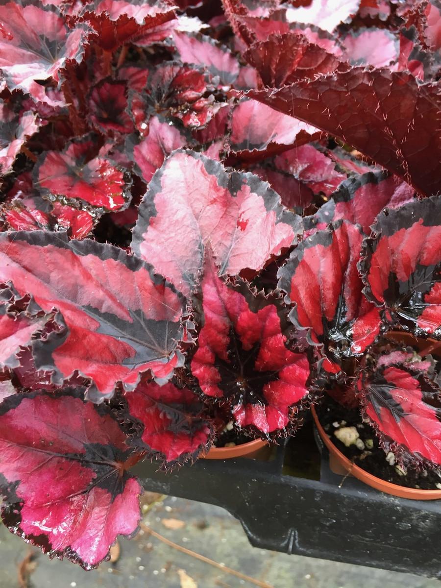 Begonia Harmony's Red Robin