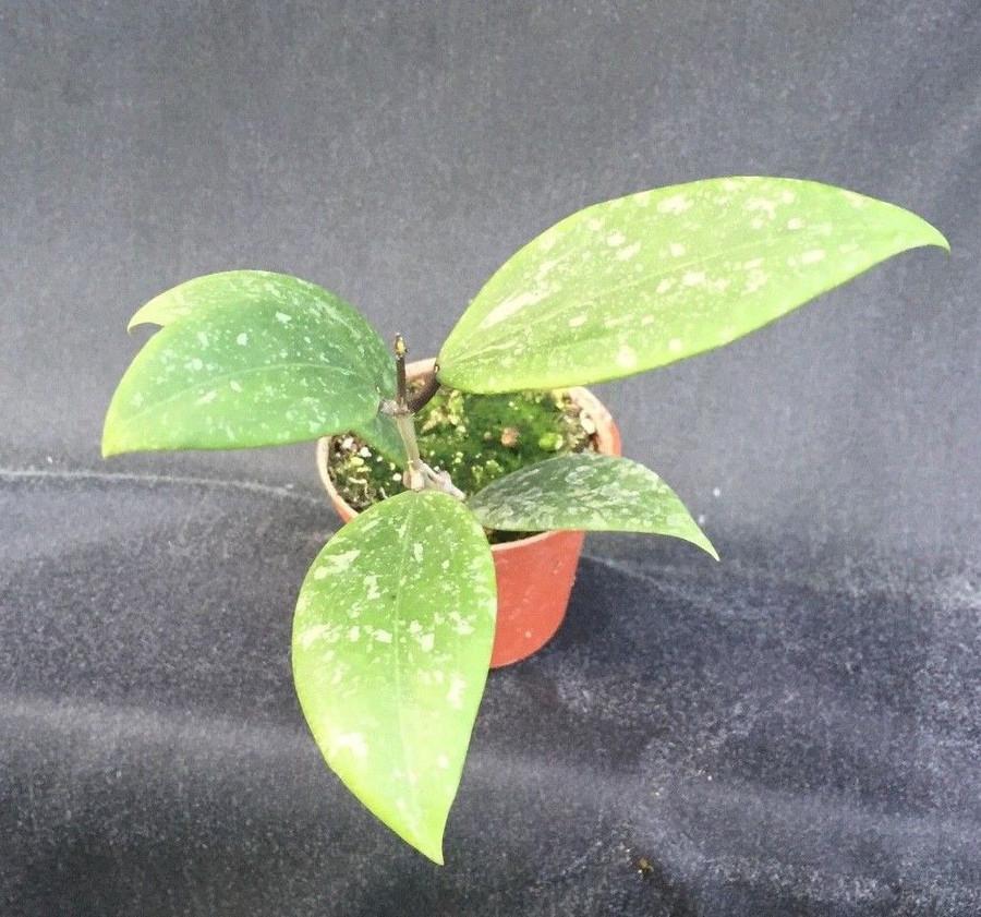 Hoya wibergiae