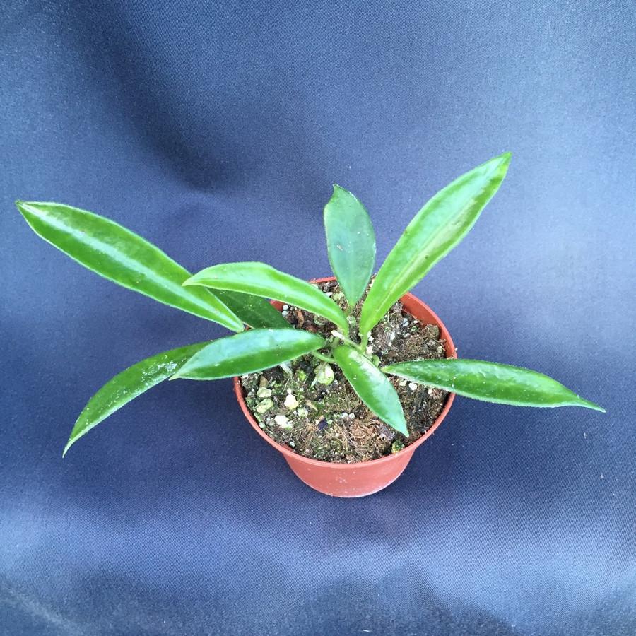 Hoya longifolia
