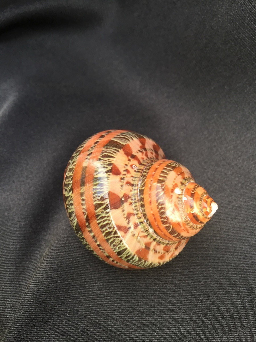 Snakeskin Turbo Sea Shell
