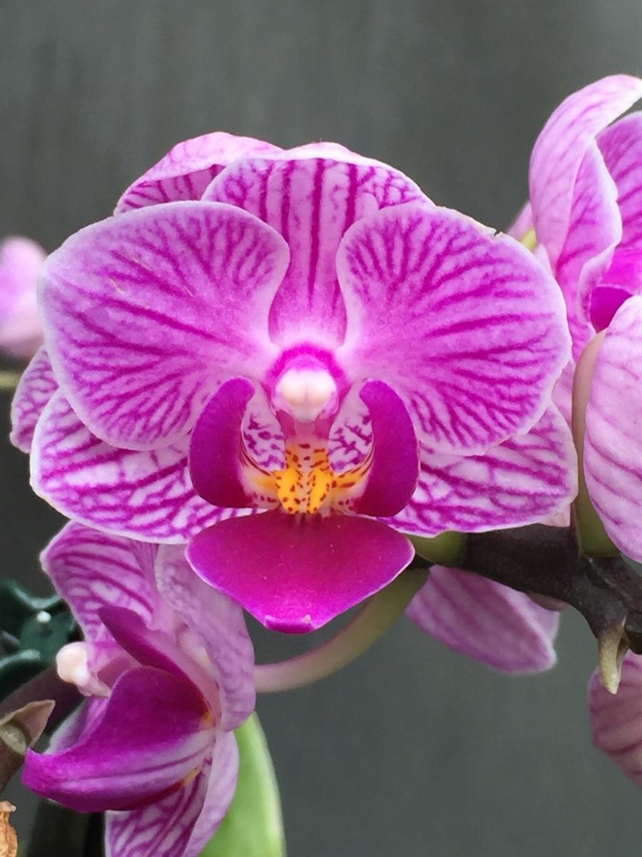Phalaenopsis Sogo Vivien 'Marginata'