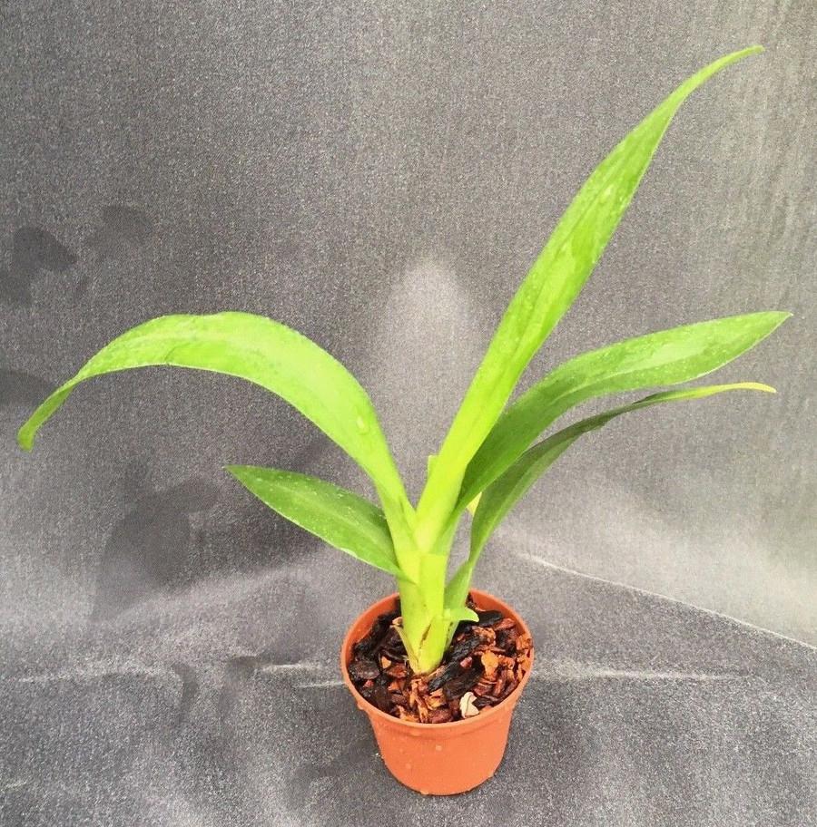 Oncidium Pacific Panache 'Dorothy Jean'