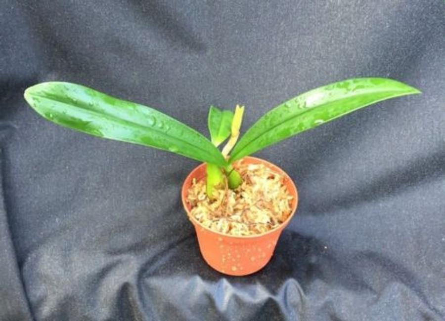 Bulbophyllum maximum  (Megaclinium falcatum)