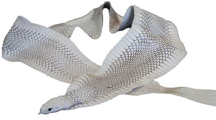 Genuine Cobra Snake Front Cut Skin with Head - Glazed Finish in Natural
