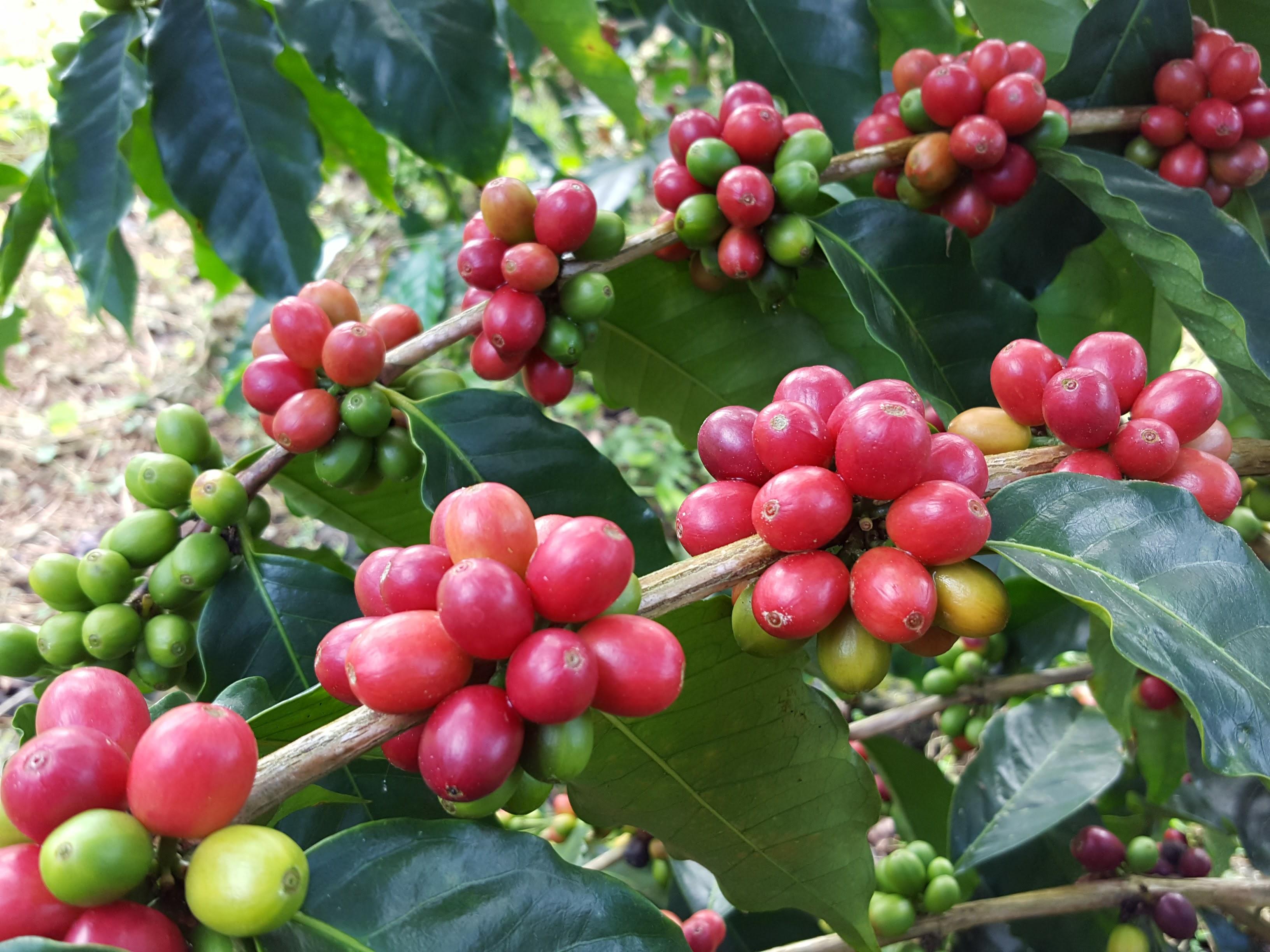 100 percent Kona Coffee