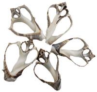 Crown Conch Slice Seashells